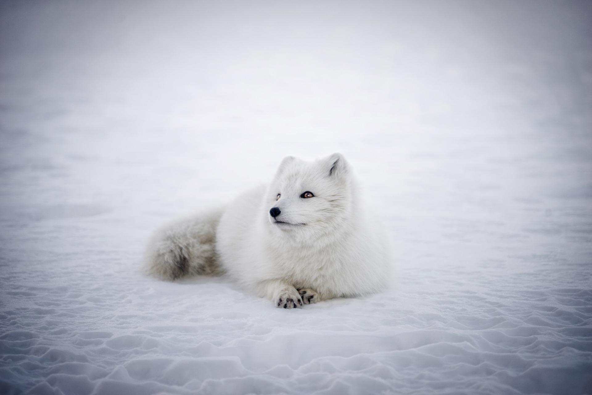 islandia raposa do artico